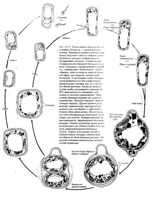 Основной способ размножения диатомовых...  Мейоз происходит при образовании гамет,остальные клетки всегда диплоидные.