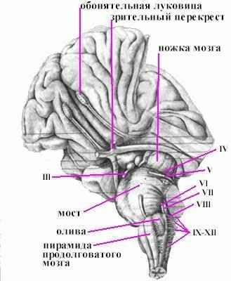 Головной мозг Рефераты ru Анатомия продолговатого мозга