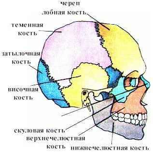 Опора и движение Рефераты ru На нижней поверхности затылочной кости есть большое затылочное отверстие через которое полость черепа соединяется с позвоночным каналом