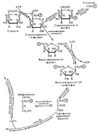 Схема процессов дыхания и