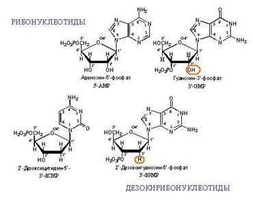 Нуклеотиды входящие в состав днк