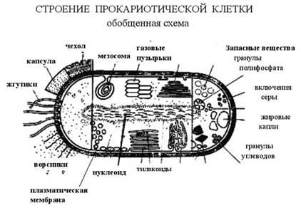 Строение клетки прокариот.  У прокариотических клеток есть цитоплазматическая мембрана, также как и эукариотических.