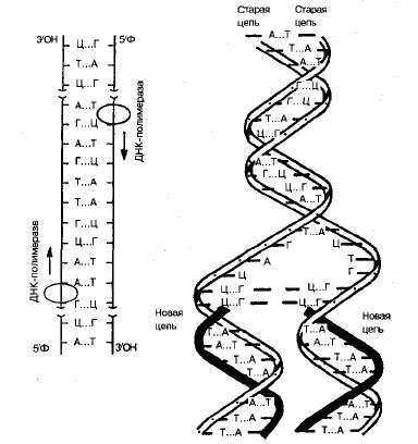 Нуклеиновые кислоты Рефераты ru Рис 1 3 Схема репликации ДНК