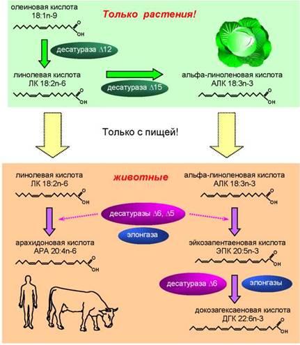 Схема синтеза полиненасыщенных